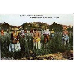 06 - Cueillettes des fleurs à la parfumerie Bruno-Court