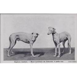 Espèces canines - Race Lévriers du Caucase a poils ras - Chiens blancs - 3 et 1 ans