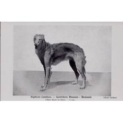 Espèces canines - Levriers Russes - Borzoïs