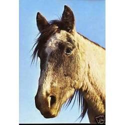 Portrait d'un cheval camarguais - CPSM