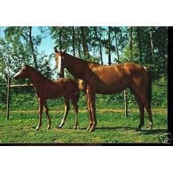 Deux chevaux a l'enclos - CPSM