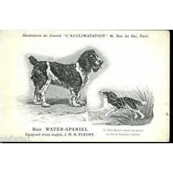 Race Water Spaniel - Epagneul d'eau anglais