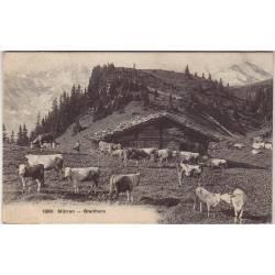 Suisse - Mürren - Breithorn - Vaches
